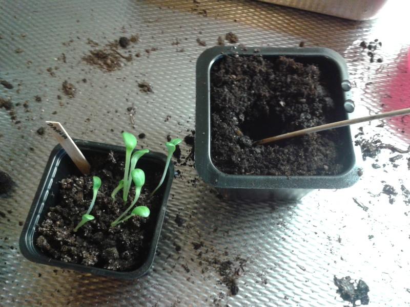 23 mars dahlia zinnia