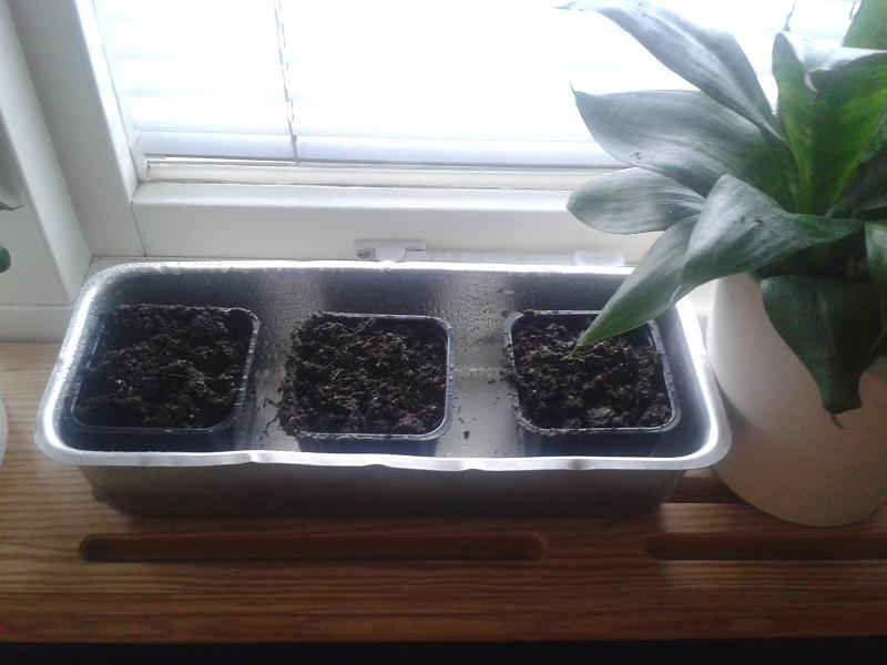 kaktussådd 02