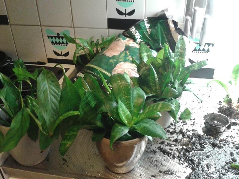 omplantering krukväxter 02