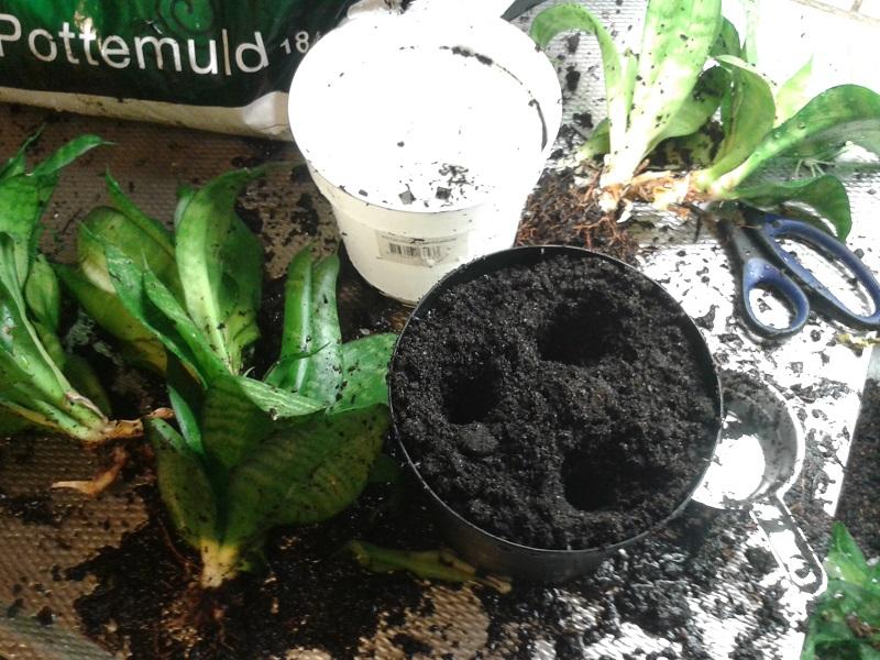 omplantering krukväxter 03