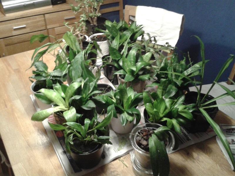 omplantering krukväxter 04