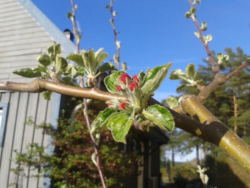 11 maj äppelblom
