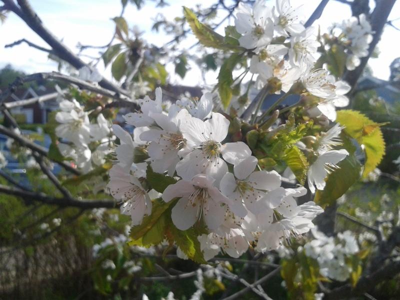 21 maj körsbärsträd