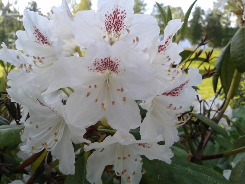 04 juni rhododendron vit