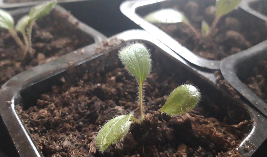 Småplantor i plastkruka
