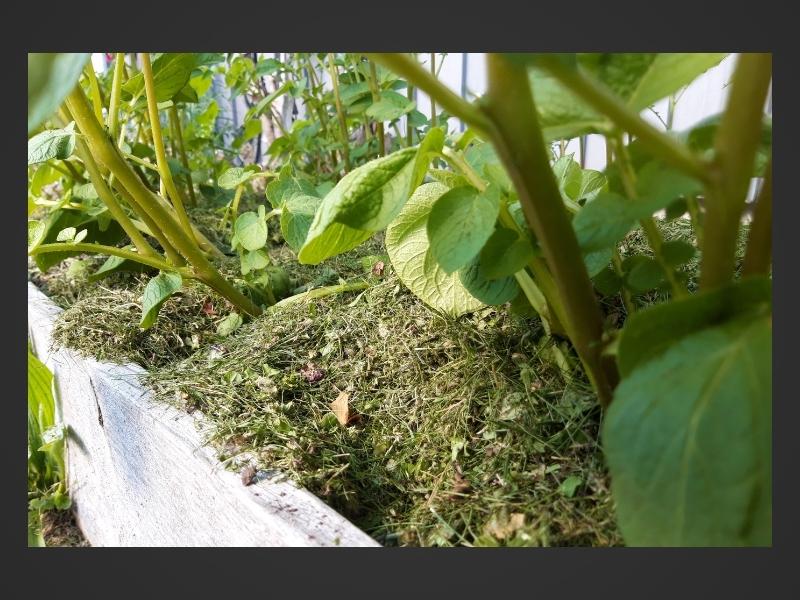 Potatisplantor i pallkrage med gräsklipp på.